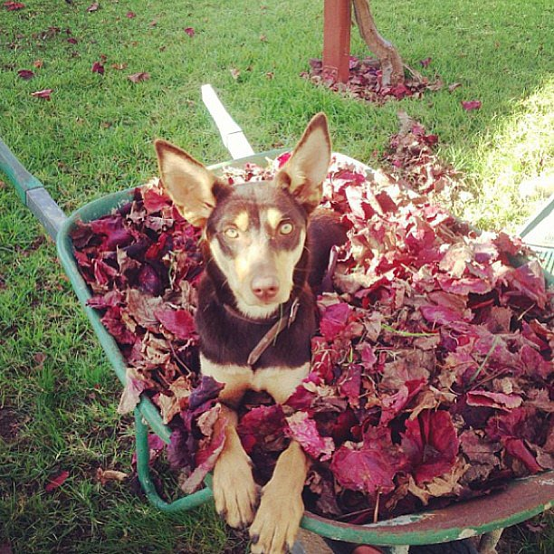 Leaf me be with my pile of leaves. Source: Instagram user its_all_about_dogs21