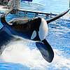 Tilikum the Whale's Story as Told in BlackFish