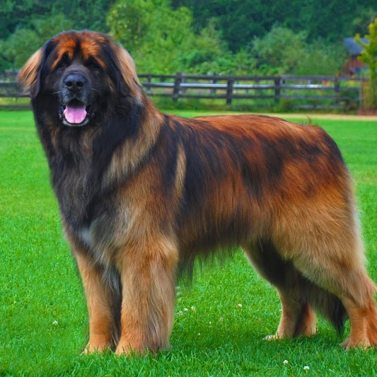 Extra Giant Breed Dogs | Dog Breeds Picture