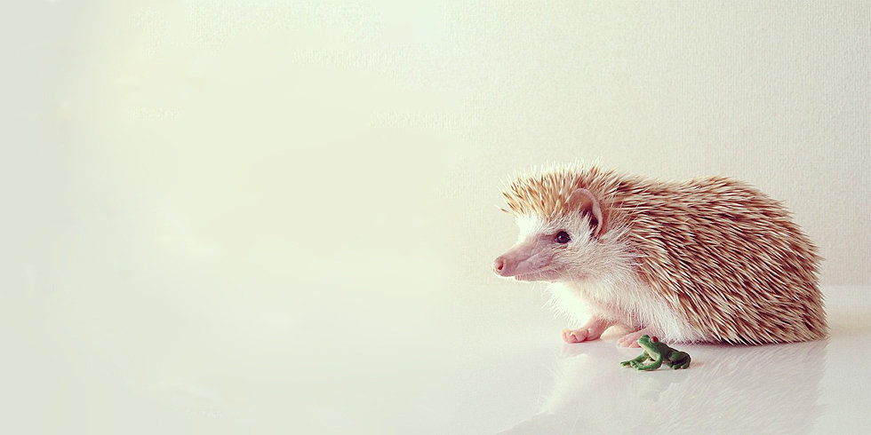 Darcy the Hedgehog Makes Everything Better
