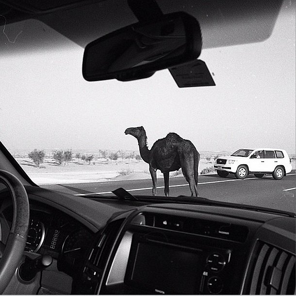 Lily Cole caught a camel stoically stopping traffic. Source: Instagram user lilycole