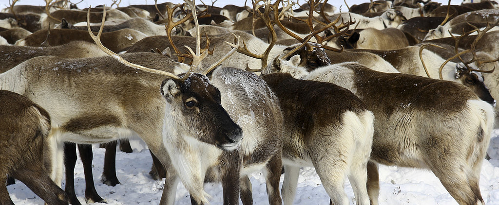 Creature Features: Reindeer!