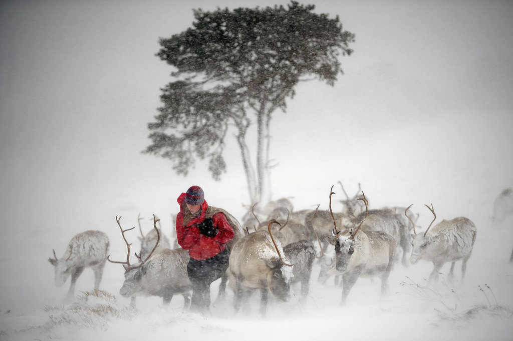 A reindeer herder fed the deer in Aviemore, Scotland.