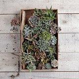 Available in small or large, this box of succulents ($23-$32) means you'll have enough to display them any way you wish.