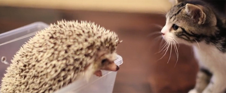 Love at First Sight: Kitten Meets a Hedgehog