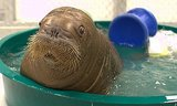 Baby Walrus Taking a Bath