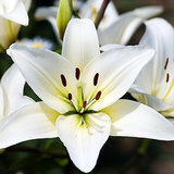 Easter Lilies Poisonous to Cats