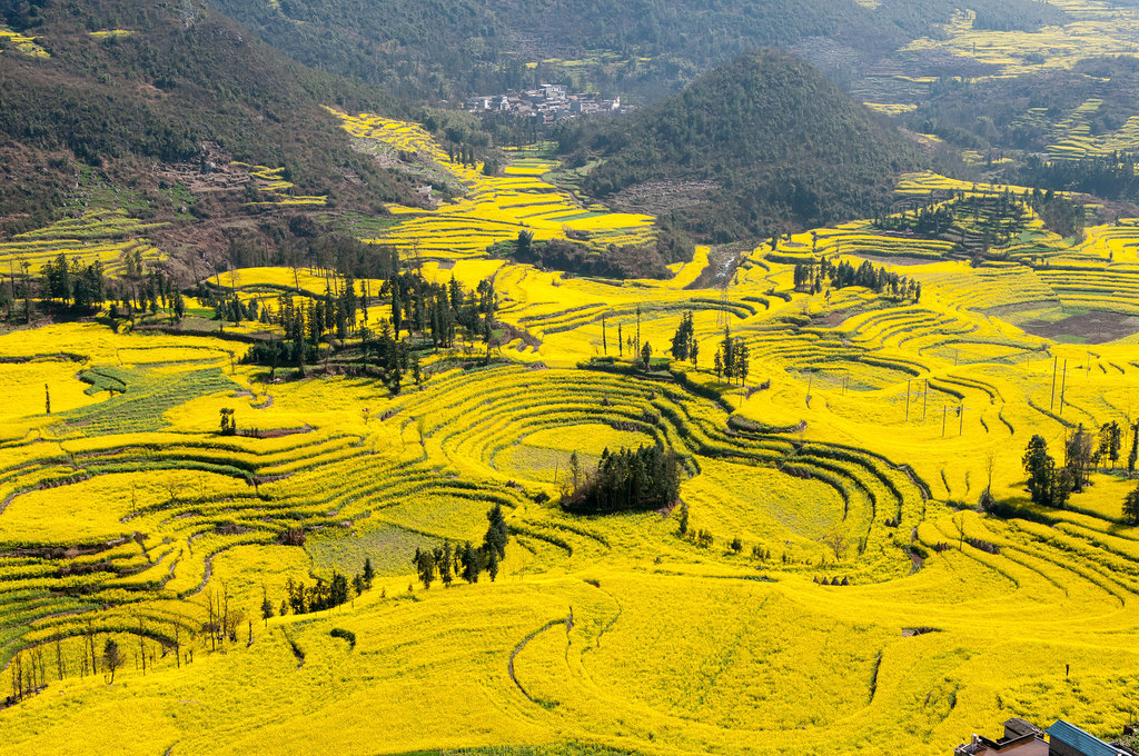 Canola Flower Fields, China