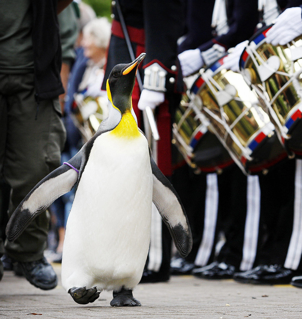A Penguin Was Knighted in Norway