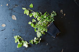 Lemon Balm and 20 Ways to Use It