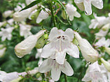 Great Design Plant: Try Penstemon Digitalis for Showy White Blooms (4 photos)