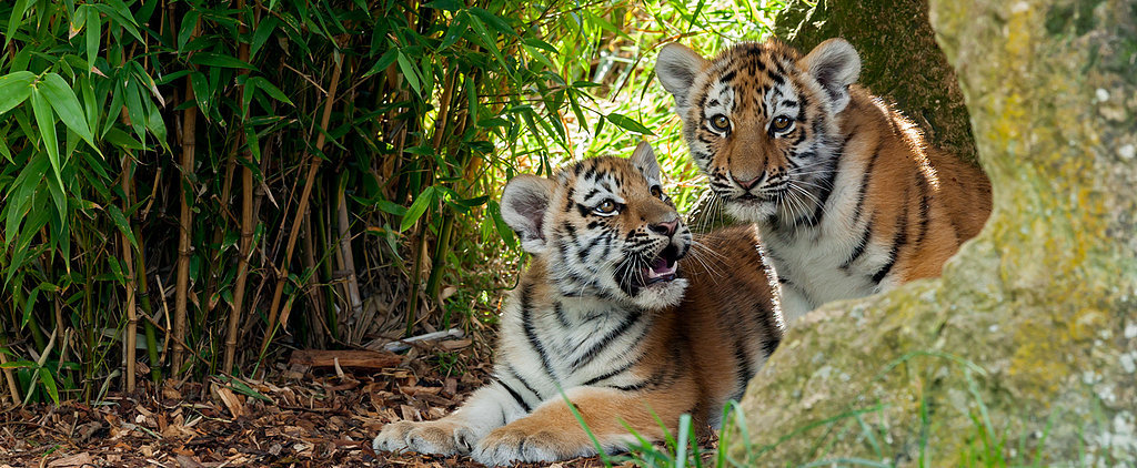 Global Tiger Day: Mama Has a Huge Tongue For Kisses