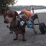 Meet a Two-Legged Dog-Racing Wonder, Anderson Pooper