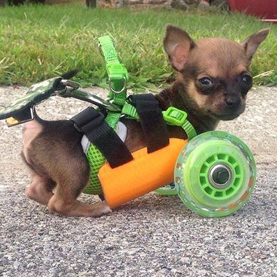 Disabled Puppy Now Rolls in a 3D-Printed Wheelchair