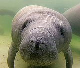 Save the Manatees Before Too Late