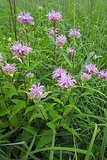 Great Design Plant: Wild Bergamot, Friend of Foragers (6 photos)