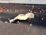 Skunk with Head Stuck in Beer Can Rescued Near Frat House
