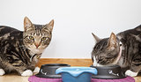 Feline Hyperthyroid Diets Are Safe for Healthy Cats, Too
