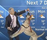 Playful Dog Interrupts Weather Forecast