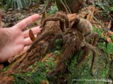 Oh, Hell No: Scientist Comes Face-To-Face With Puppy Sized Spider In The Rainforest