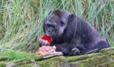 'Girlie' Gorilla Gorges on Gourmet Birthday Cake at London Zoo