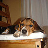 Guess What Breed Superquiz: Ain't Nuthin' but a Hound Dog