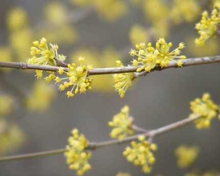 This Sparklers Fine Art Photograph ($20) of the early Spring blossoms of a Cornelian cherry tree is beautiful. I love the use of depth of field.