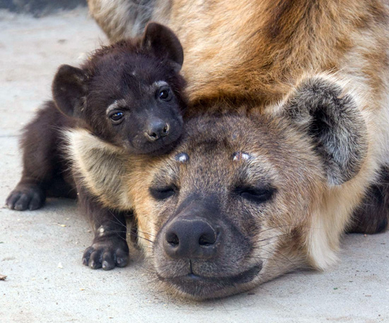 Baby Hyena Alert! Kai Is No Laughing Matter
