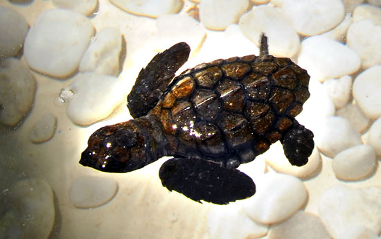 Hawksbill Turtles