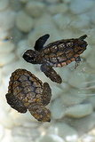 Hawksbill Turtles