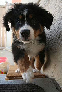 It's Bernese Puppy Party Time: In the LINK of an Eye!