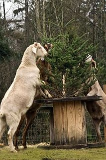 Goats Say Old Christmas Trees, Yum: In the LINK of an Eye!