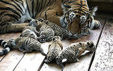 Photos of Tiger Cubs