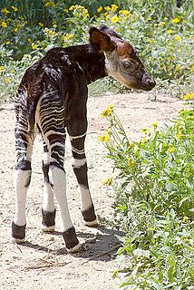 Have You Ever Seen an Okapi?