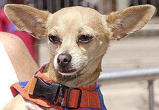 "Gidget Goes to Heaven: RIP, ""Yo Quiero Taco Bell"" Chihuahua"