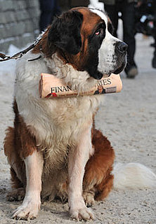 Facts About Saint Bernards