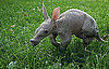 Baby Aardvark
