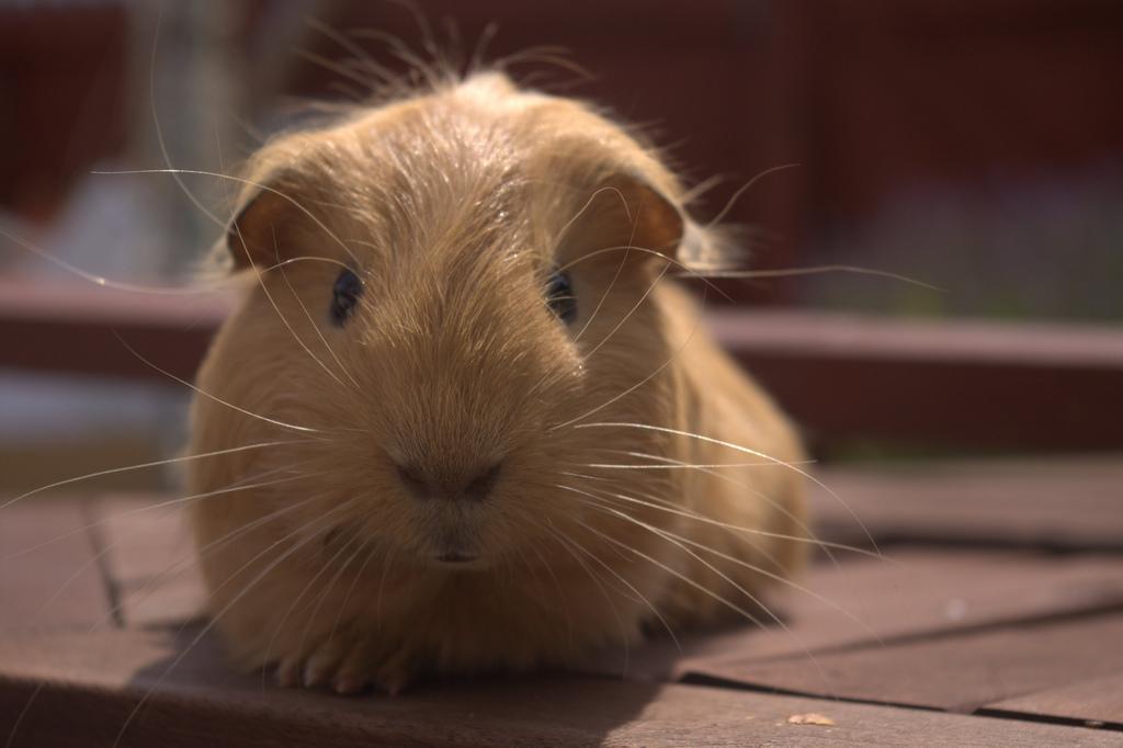 Popular Pet Guinea Pig Names