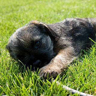Pictures of Terrier Puppies