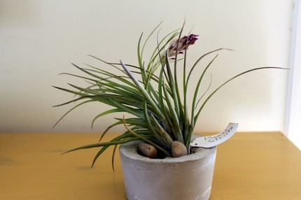 This Concrete Planter with Air Plant ($19.50) is a great choice for those lacking a green (or even greenish) thumb.