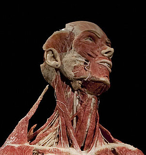 Body Worlds to Unveil Cadaver Sex Show Next Year