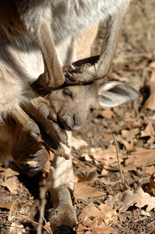 dwp kangaroo 010208