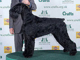 Philip, the Giant Schnauzer, wins Best in Show at Crufts 2008