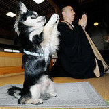 Conan the Praying Chihuahua Boosts Attendance at a Buddhist temple in Japan