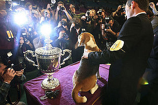 Super Cute Gallery: Big Beagle the Big Winner at Westminster!