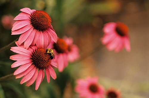 Echinacea Is Effective, Probably Maybe