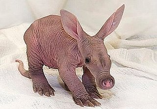 Cute Alert: Baby Aardvark at the Detroit Zoo