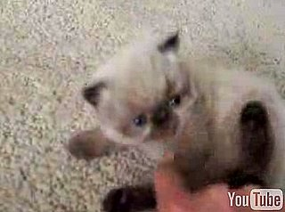 Cute Alert: 4-Week-Old Himalayan Kitten Fuzzball