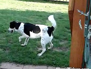 Border Collie Herds His Reflection