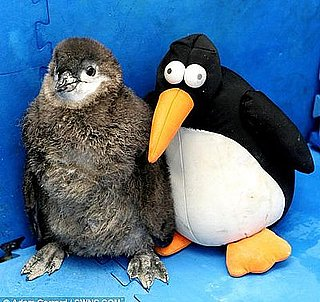 Cute Alert: Baby Penguin's BF Is a Stuffed Penguin!